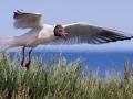 Black-headed gull with sandeel by Czech Conroy