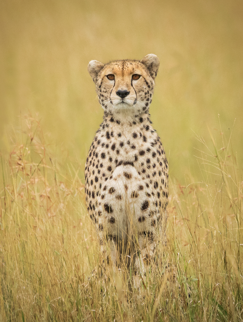 Cheetah Portrait by Czech Conroy