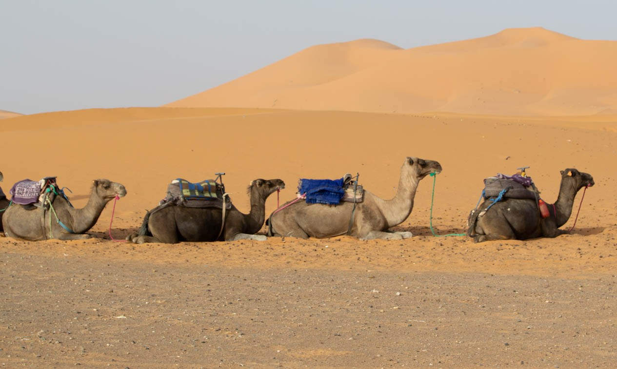 Desert Camels by Juliet Atkins