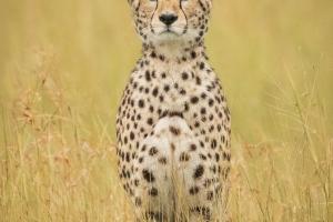 Cheetah Portrait by Czech Conroy