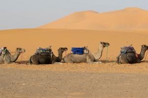 Desert Camels by Juliet Atkins