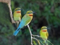 Blue-tailed Bee-eaters by Czech Conroy (19)