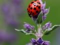 Ladybird by Vera Stevens