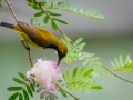 Olive-backed sunbird (Cinnyris jugularis) by Greg Gillies