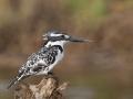 Pied kingfisher _hd