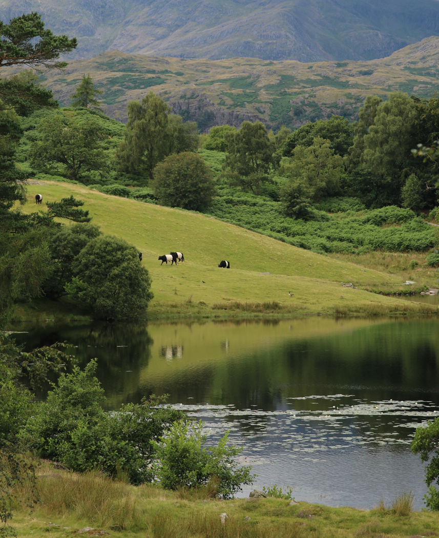 Belted Galloways at Tarn Hows by Julie Langman
