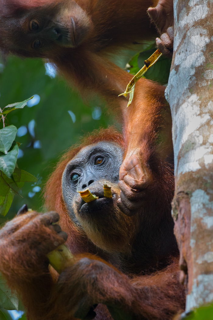 Orang Utan mother and baby, Sumatra by Greg Gillies