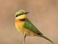 Little Bee-eater by Czech Conroy