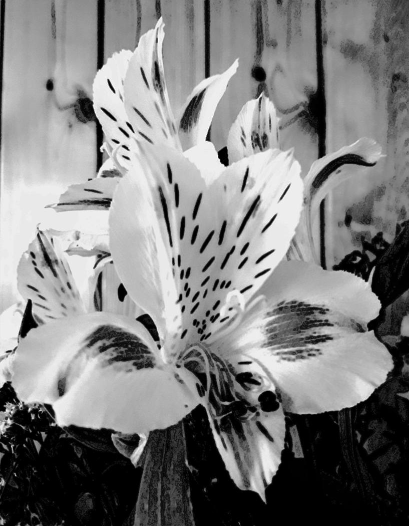 001-Alstroemeria-mono-by-Betty-Deshmukh