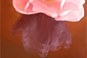 013-Pink-Tulip-by-Val-Bluck