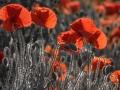 Backlit poppy by Paul Lehane.jpg