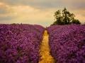 Lavender by Lou Humphries.jpg